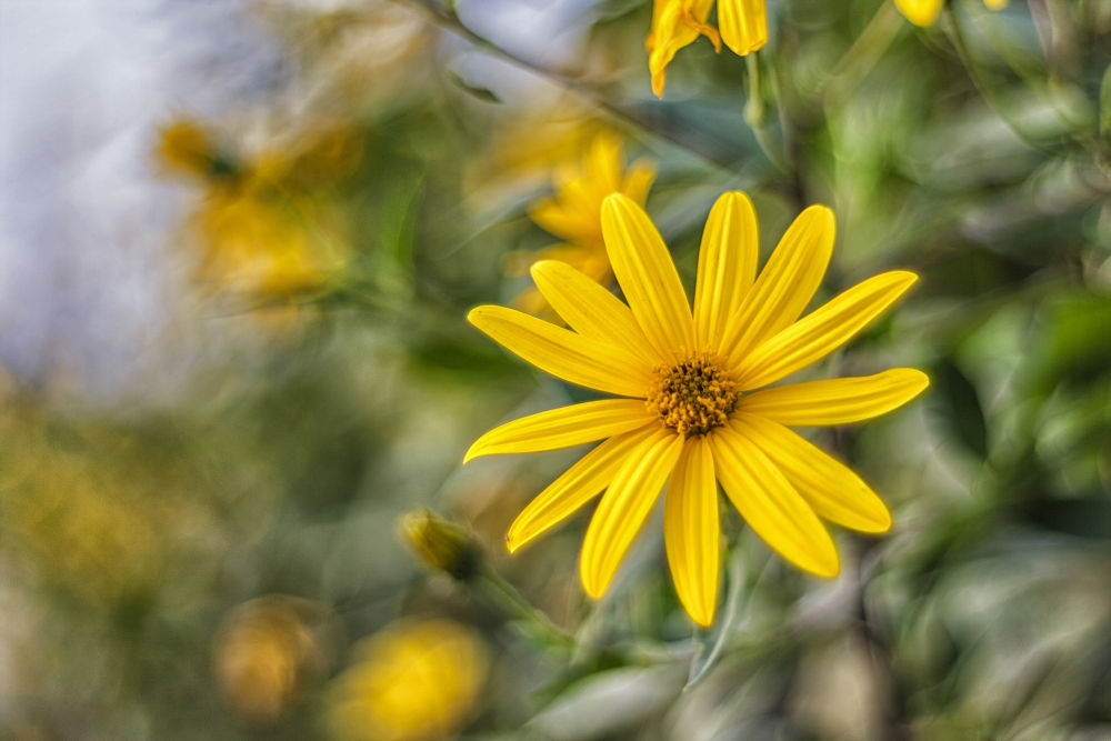 yellow flower by mohammad reza ghorbanzade