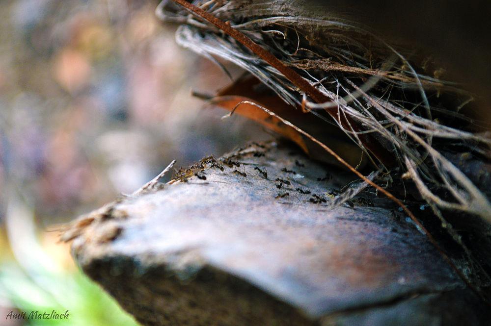 Ants on a Trail by amit matzliach