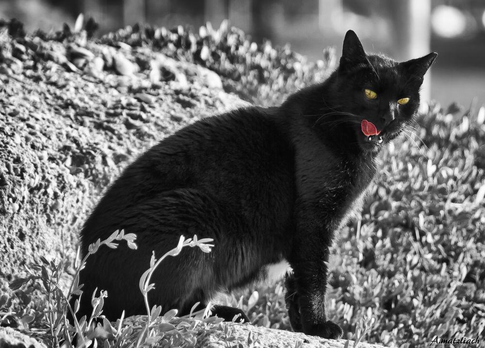 Urban Black Tiger by amit matzliach