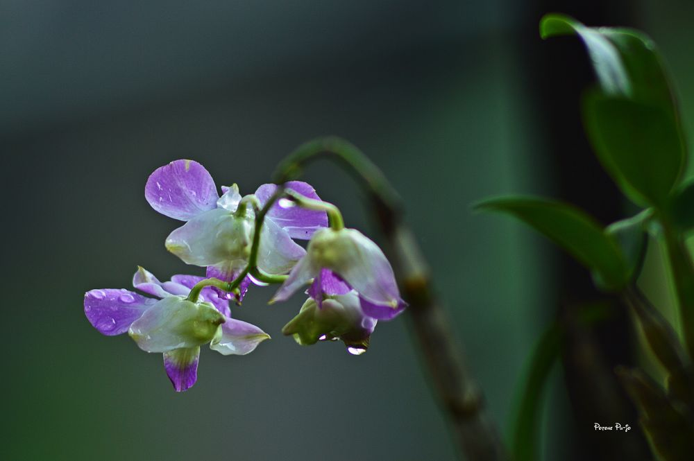 Orchid by DonAlFather