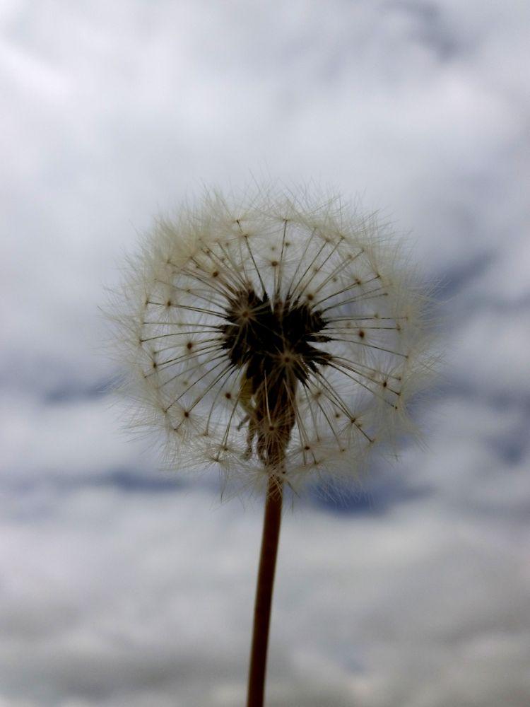 dandelion by zara