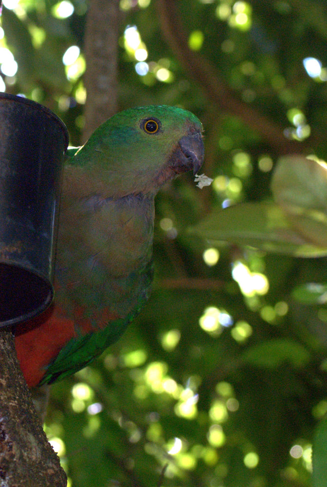 Australian King Parrot  female by Leanne Smithers