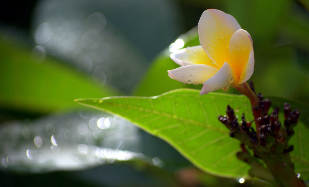 frangipani by Leanne Smithers