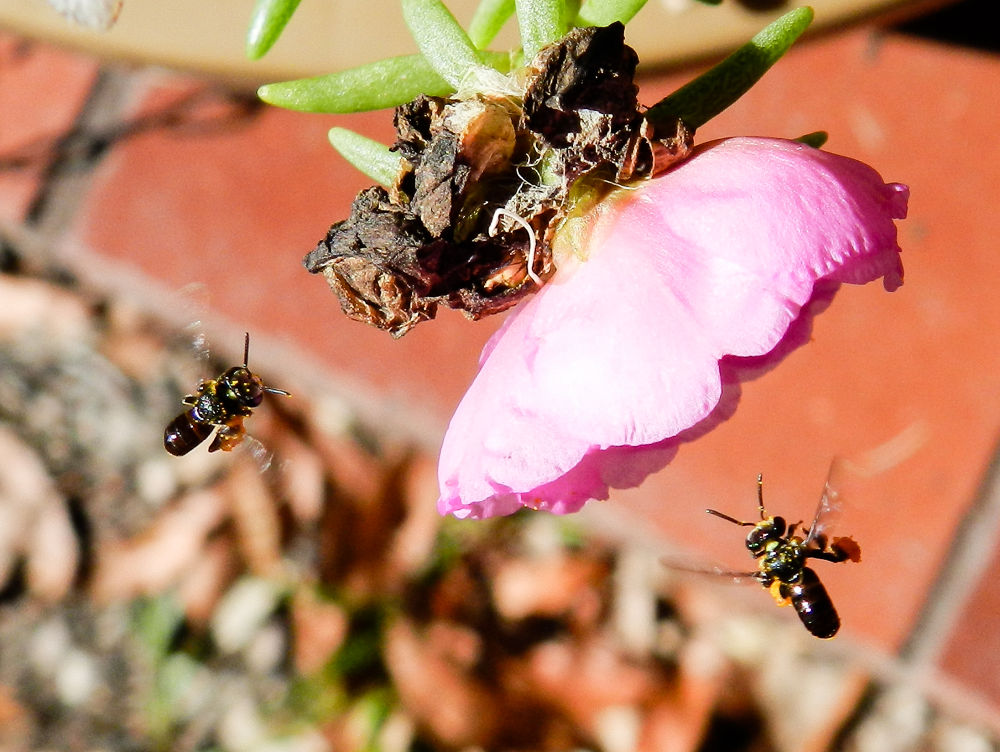 Tiny bees  by Leanne Smithers 🇦🇺