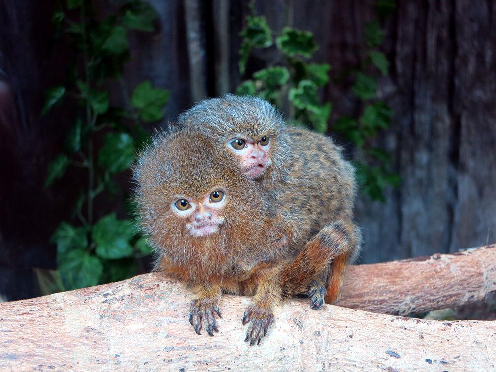Dwarf Monkey by tangyuiching