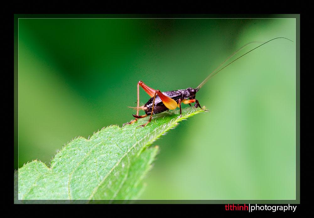 Cricket by tlthinh.macros