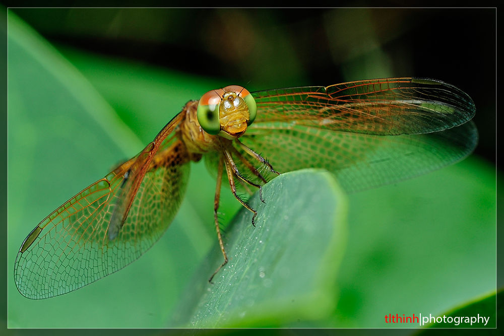 Dragonfly by tlthinh.macros