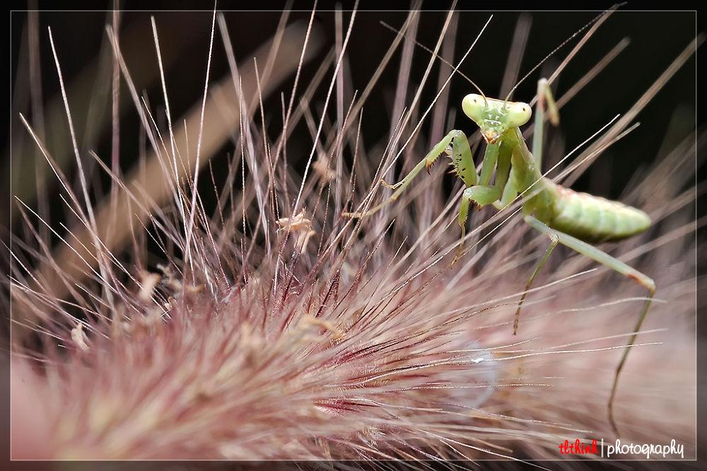mantis by tlthinh.macros