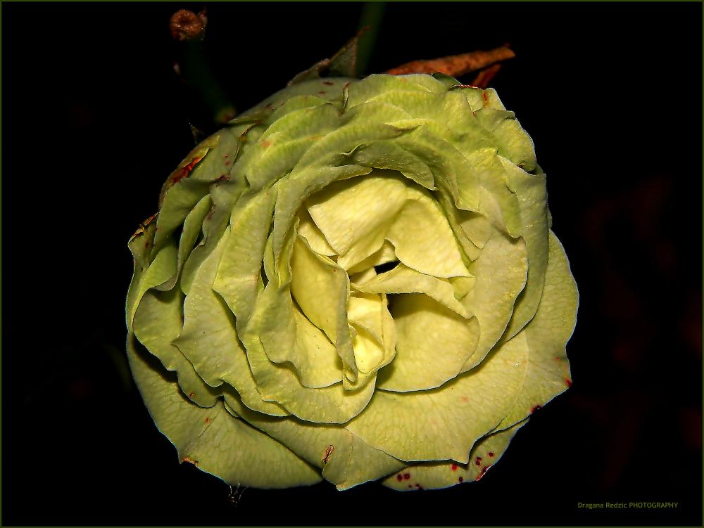 green rose by Драгана М. Реџић