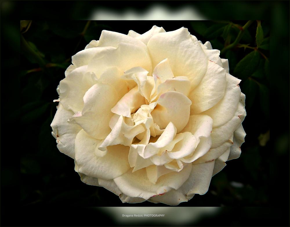 white rose by Драгана М. Реџић
