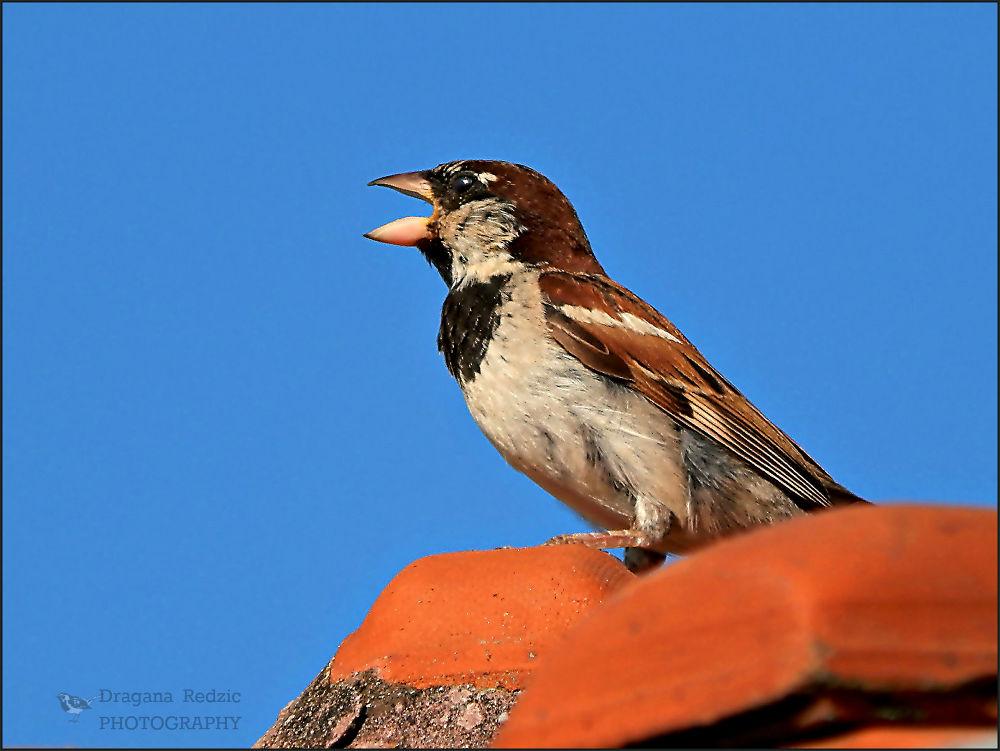 sparrow by Драгана М. Реџић