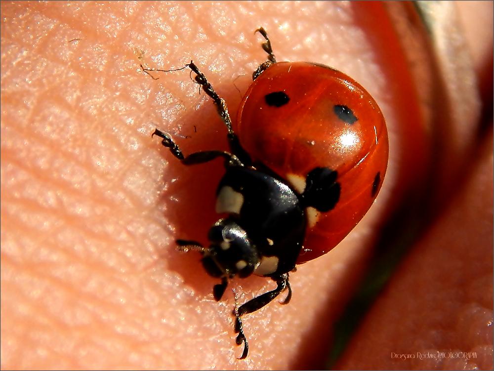 Ladybug on my finger by Драгана М. Реџић