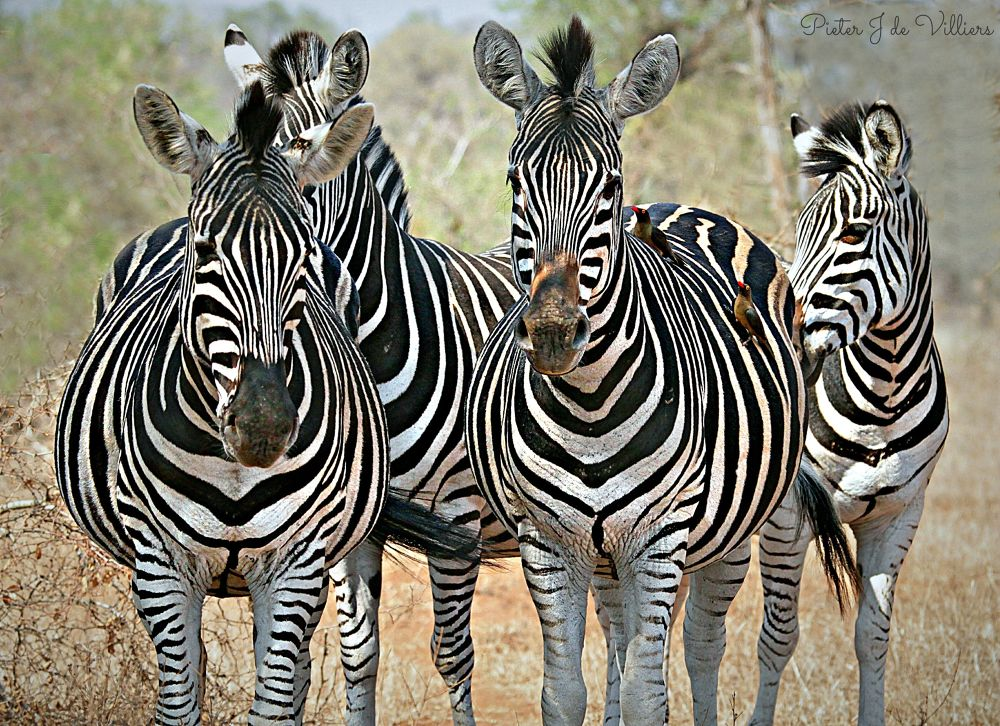 Zebra Family by Pieter J de Villiers