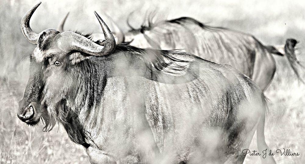 Bluewildebeest by Pieter J de Villiers