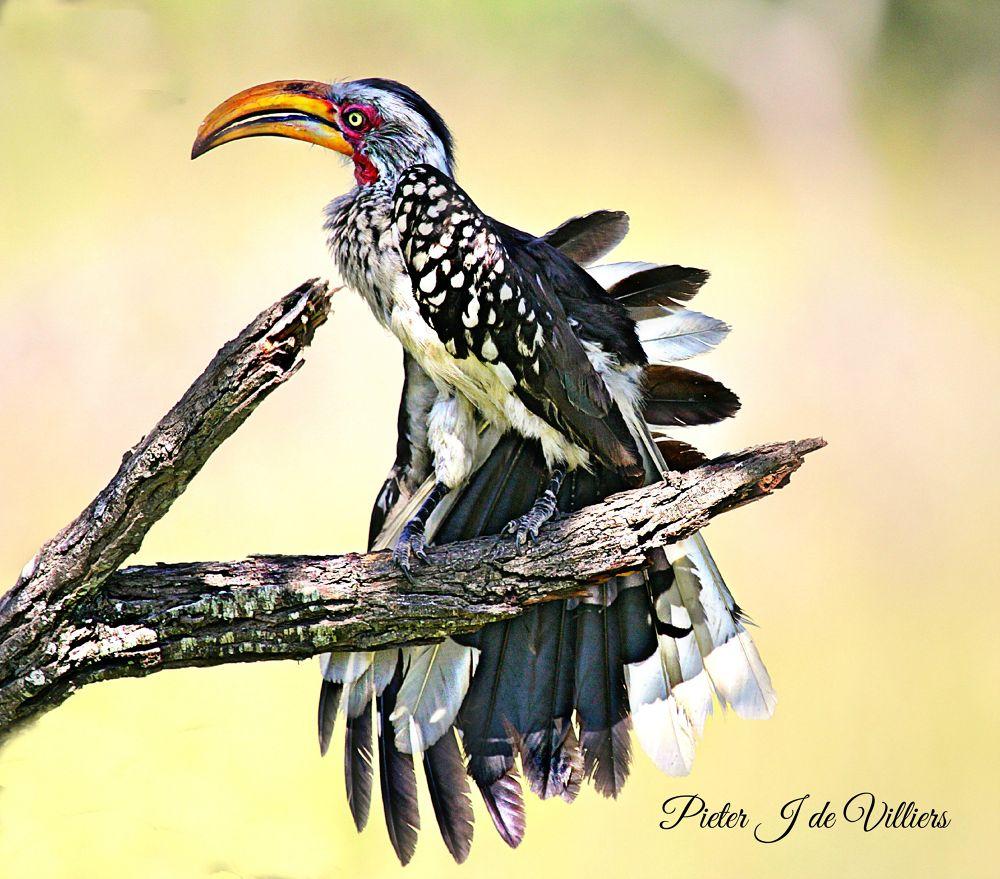 Hornbill by Pieter J de Villiers