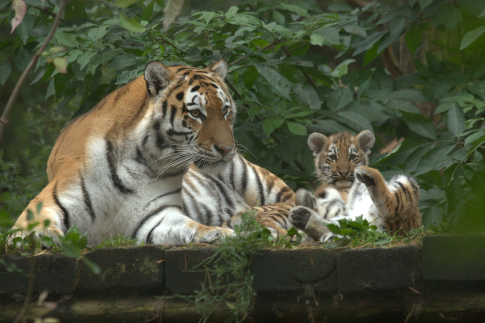 Siberian Tiger & Cub by davidbatchelor94