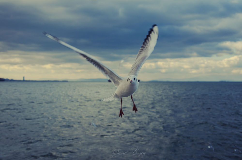 seagull by asmet26