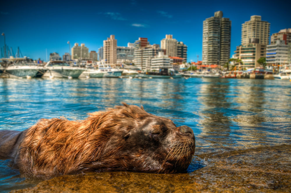Sea Lion, Punta del Este, Uruguay by Paulo Souza Photography