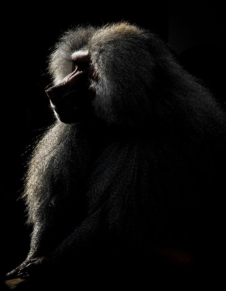 Mr. Baboon by cag_a_tay