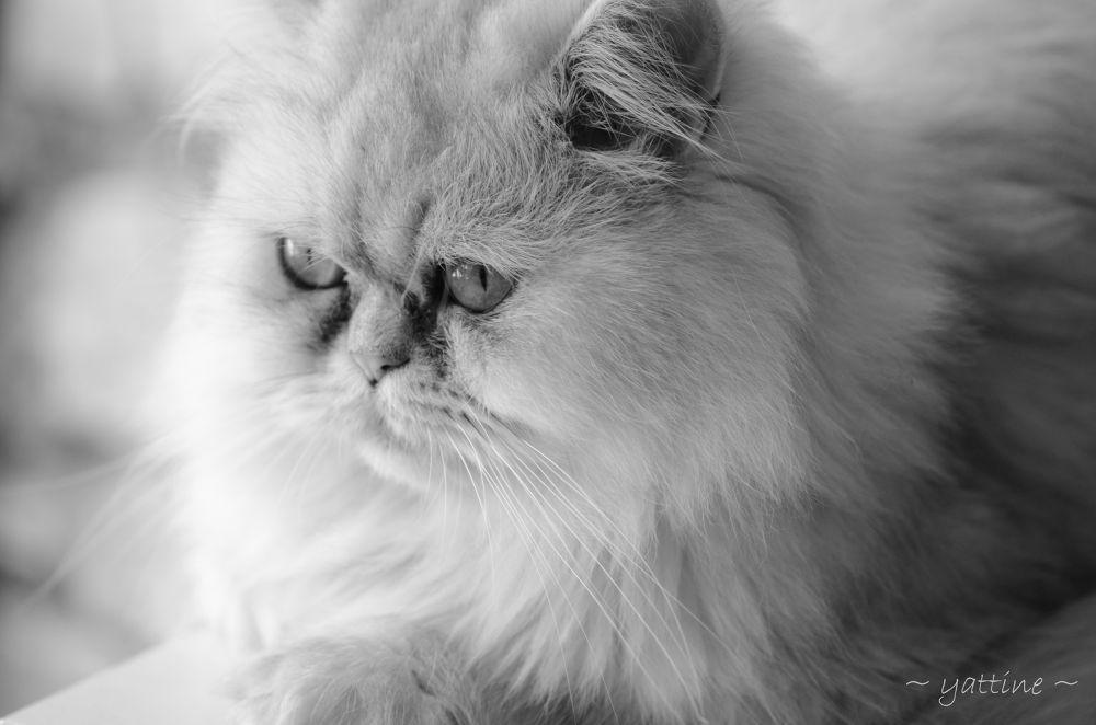 Mushu (gato/cat) by yattine