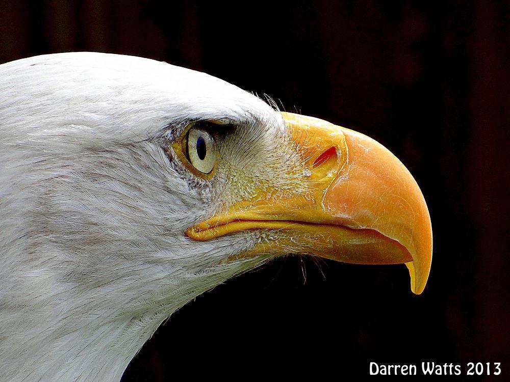 Bald Eagle by Darren Watts Photography