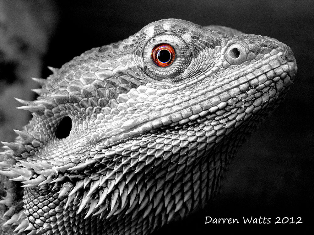 Bearded Dragon by Darren Watts Photography