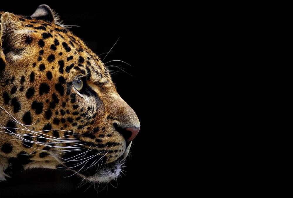 Jaguar by Ralf_Markert