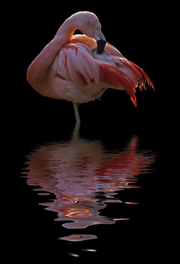 Flamingo by Ralf_Markert