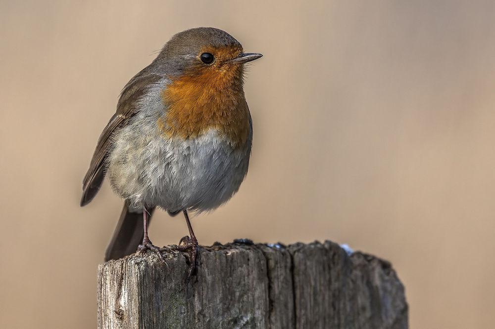 Robin by Ralf_Markert