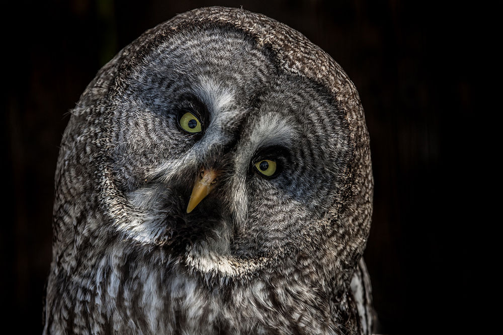 Great Gray Owl by Ralf_Markert