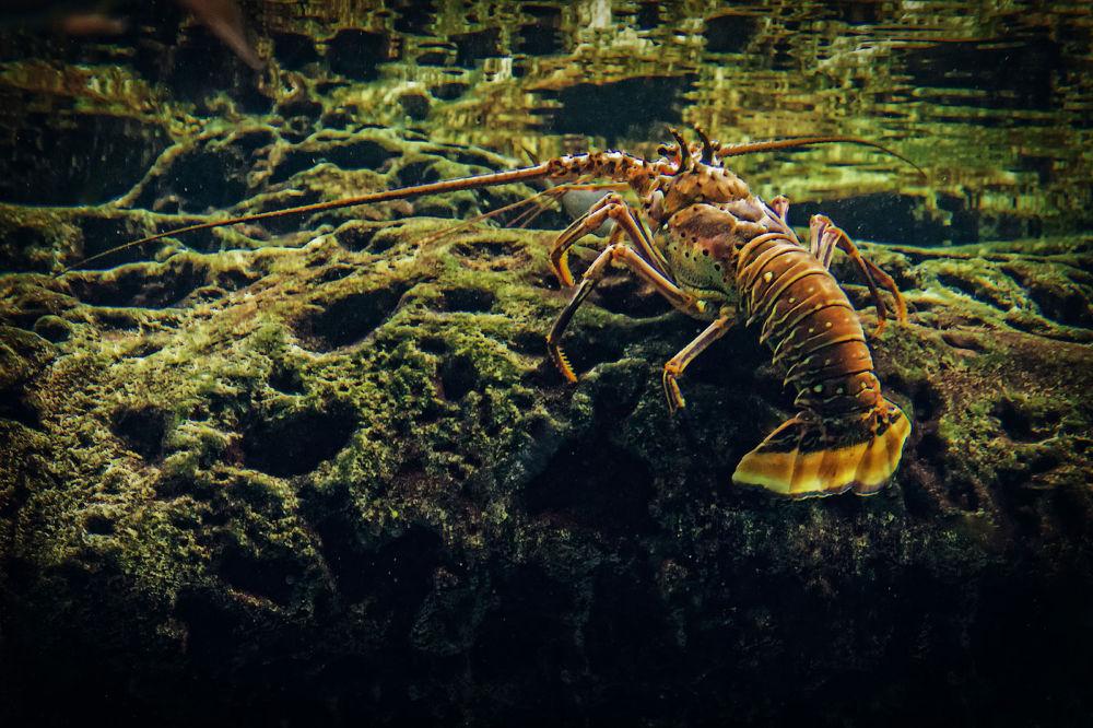 Lobster.jpg by BillBoehm