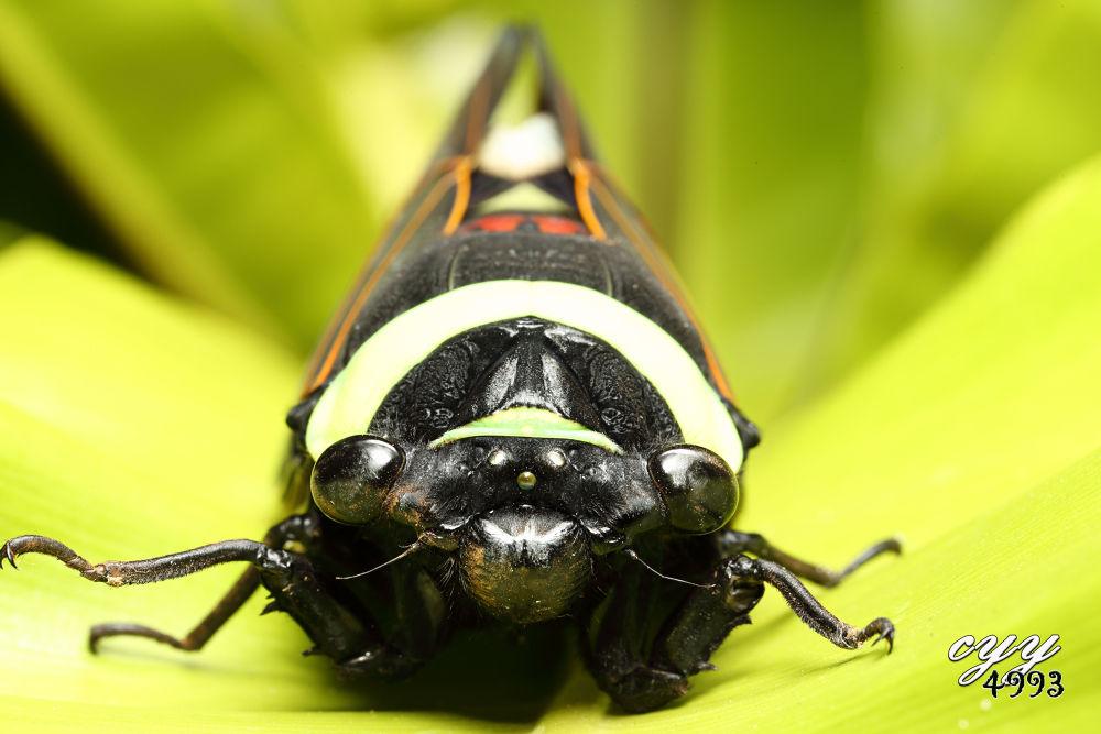 Cicada [Cicadidae] 蝉 by cyy4993