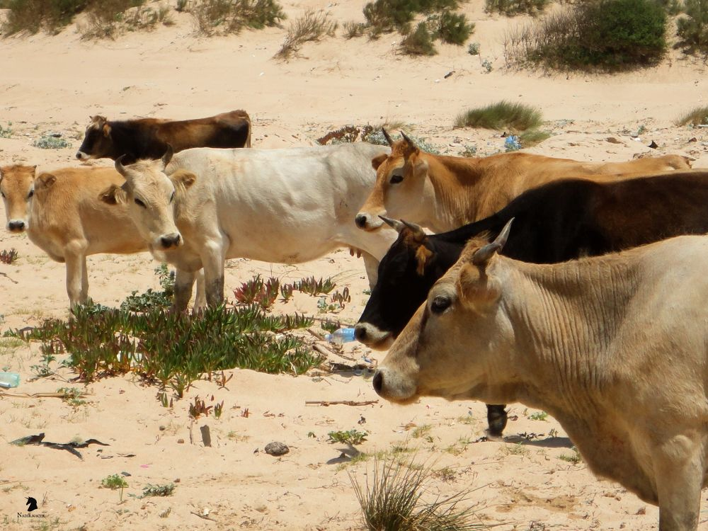Les vaches   by NACER