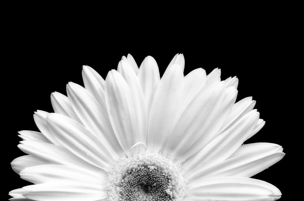 Daisy by jeffsinnock