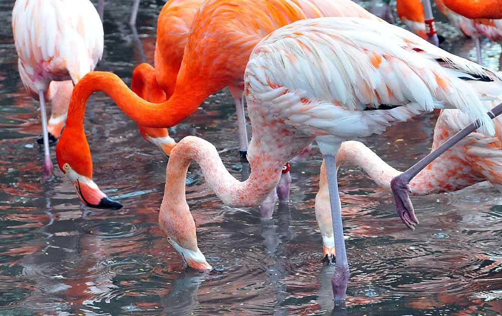 flamingos by TeePeeCoPhotos