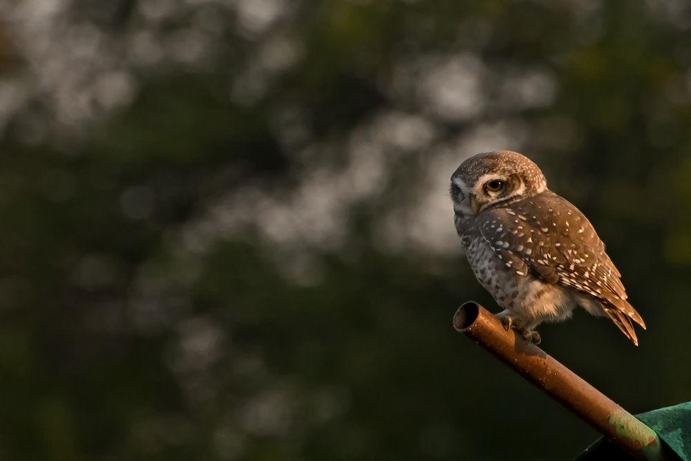 Spotted Owlet by SarthakJha
