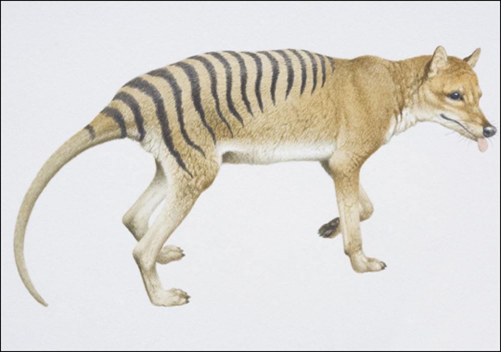 Tasmanian Tiger by Tatsuko Sukotjo