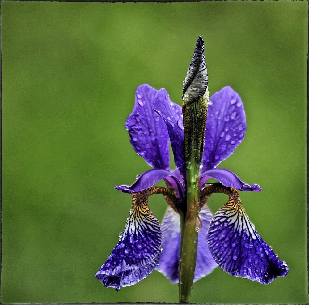 Iris by Richt Lycklama à Nijeholt