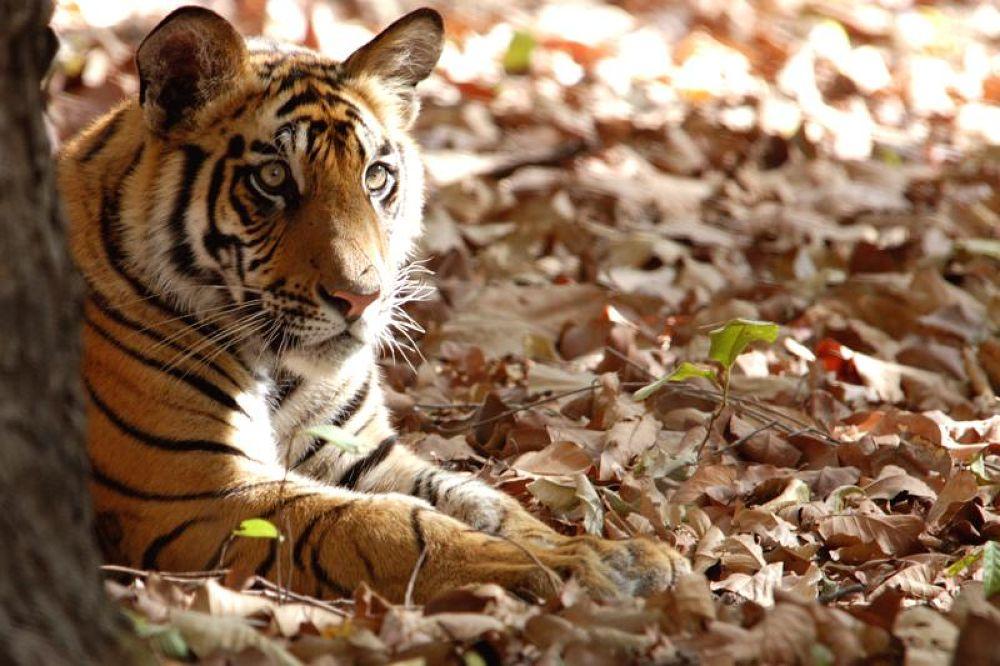 tiger cub at bhandhavgarh by AJAYSHAH