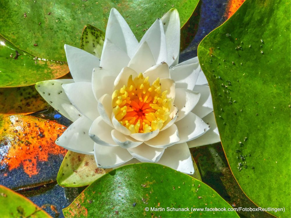 water lily by Martin Schunack