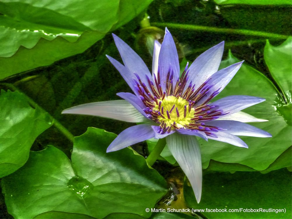 Water Lilly by Martin Schunack