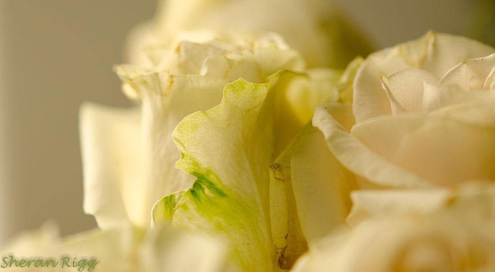 Roses  by SheranRigg
