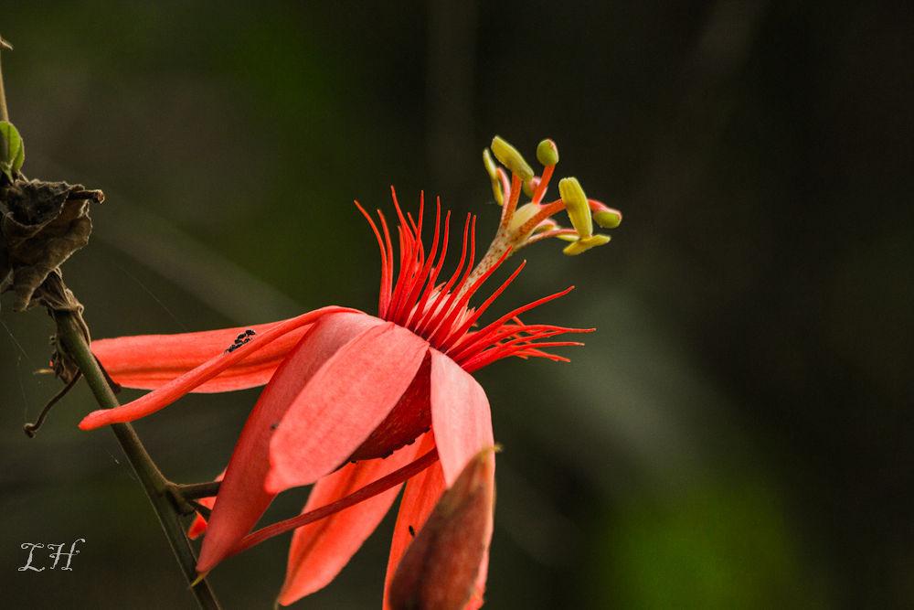 Passiflora by LeoAndino