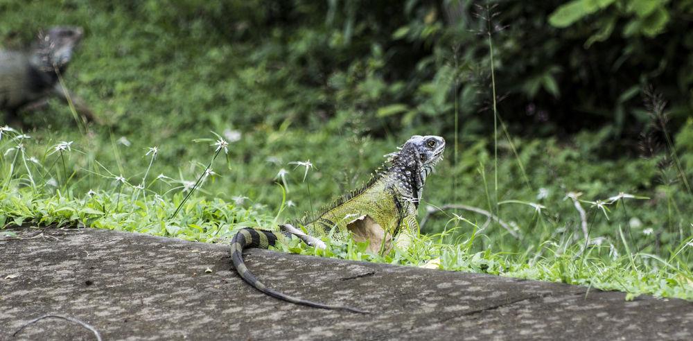 Iguana  by ErikaLorde