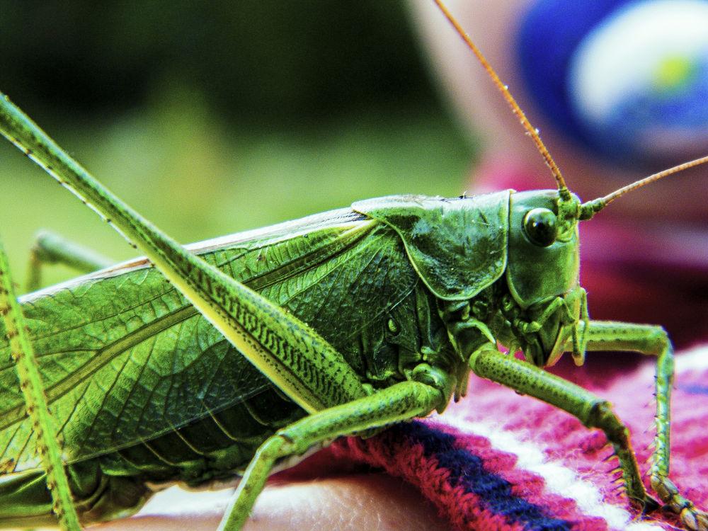 Cricket by ErikaLorde