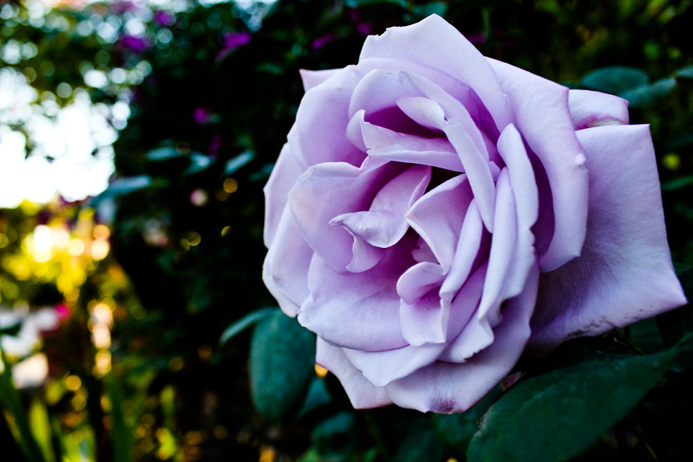 The Purple Rose  by ErikaLorde