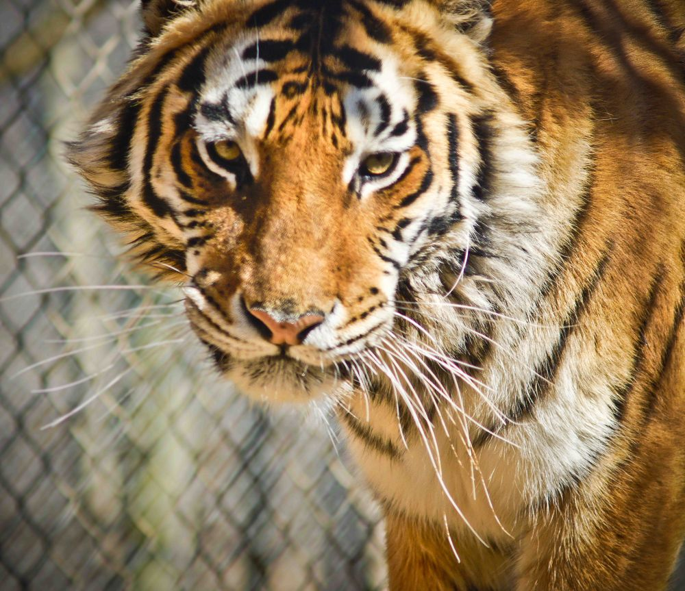 Exotic Feline Tiger by David W. Scott