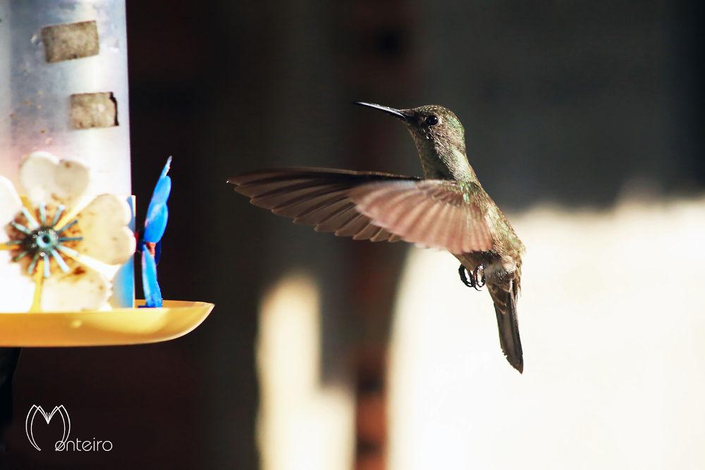 Hummingbird by Sergio Monteiro