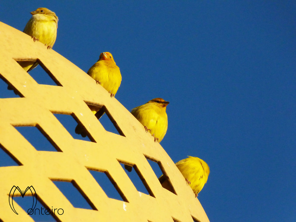 Sunset canaries by Sergio Monteiro