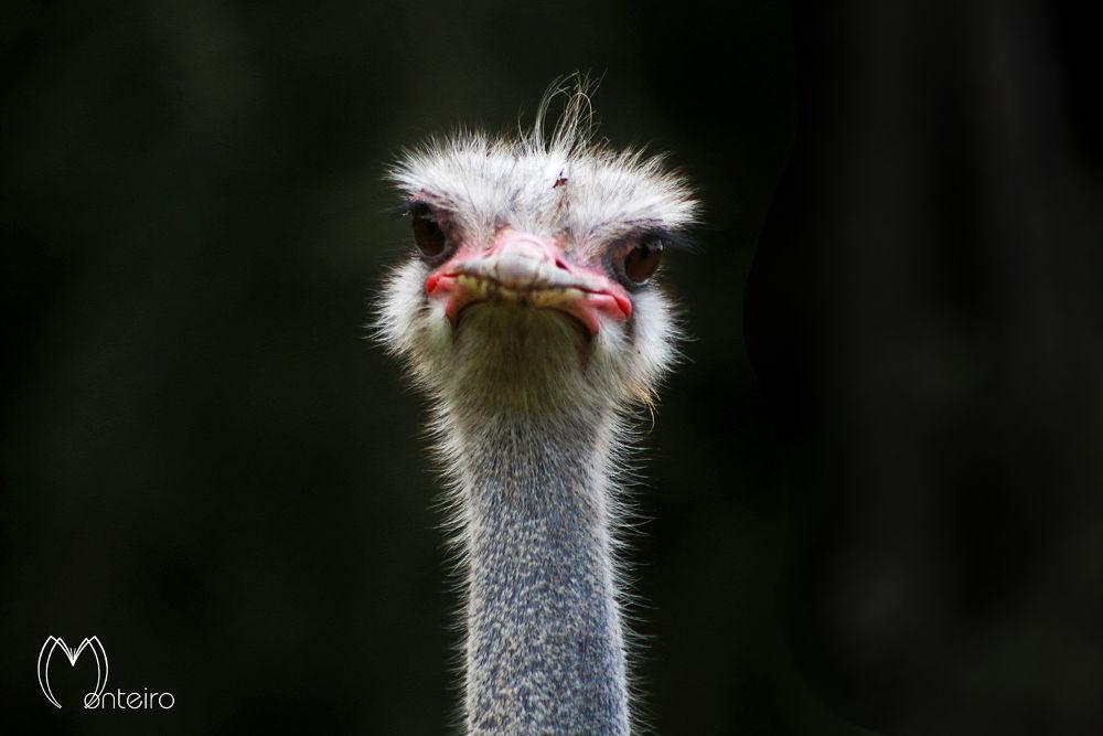 Ostrich by Sergio Monteiro